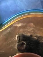 Picor y rascarse en roedores, Hámster ruso