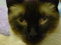 Ojos entrecerrados en gatos, Siamés