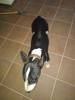 Respiración ruidosa en perros, Bull Terrier