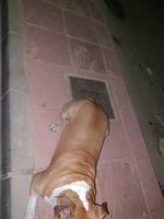 Dificultad para mover las patas traseras en perros, Staffordshire Terrier americano