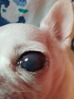 Encías blancas o pálidas en perros, Chihuahueño