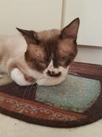 Heridas que no curan o cicatrizan en gatos, Siamés