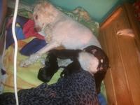 Inflamación de las mamas en perros, Caniche