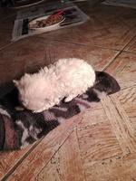Mota, mi perro cruce de yorkshire terrier macho, tiene respira con dificultad, deshidratación y desánimo, decaído, triste, depresión