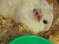 Gordo, mi roedor hámster ruso macho, tiene picor y rascarse
