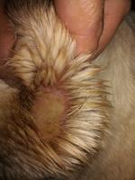 Pus en la piel, infección en perros, Labrador
