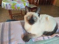 Dolor al contacto en gatos, Siamés