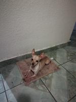 Flaco, mi perro chihuahueño macho, tiene edema en la piel y fiebre