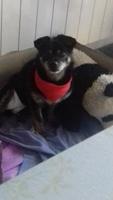 Sangre en orina en perros, Chihuahueño