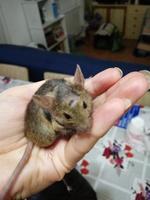 Pérdida de pelo en roedores, Ratón común