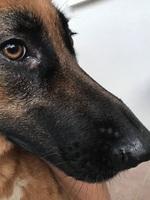 Falta de pelo alrededor de los ojos en perros, Pastor alemán
