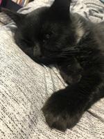 Apatía en gatos, Persa tradicional