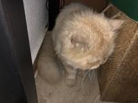 Pelusa, mi gato persa tradicional macho, tiene estreñimiento y fiebre