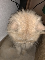 Fiebre en gatos, Persa tradicional