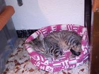 Apatía en gatos, Mau egipcio