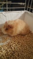 Deshidratación en roedores, Cobaya