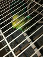 Estreñimiento en aves, Periquito de línea verde