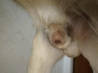 Thor, mi perro labrador macho, tiene goteo de orina