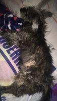 Canito, mi perro yorkshire terrier macho, tiene ojos rojos, convulsiones y agresiones