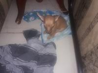 Garrapatas en perros, Chihuahueño