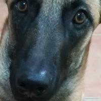 Vulcano, mi perro pastor belga macho, tiene bulto en la piel