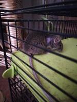 Respira con dificultad en roedores, Ratón común