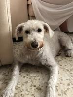 Dolor de oreja en perros, Schnauzer estándar