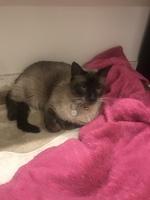 Dificultad para mover las patas traseras en gatos, Siamés