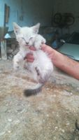 Desconocido, mi gato cruce de siamés hembra, tiene ojos inflamados y respiración ruidosa