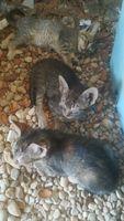 Ojos inflamados en gatos, Siamés