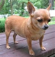 Respira con dificultad en perros, Chihuahueño