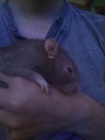 Debilidad en roedores, Rata estándar