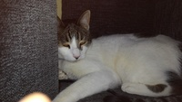 Pitu, mi gato común europeo hembra, tiene arcadas y vómito