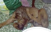Chikour, mi perro cruce de bóxer macho, tiene diarrea, flemas y babeo excesivo o espuma blanca por la boca