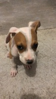 Gusanos en las heces en perros, Beagle