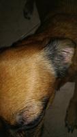 Piel seca en perros, Chihuahueño