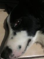 Neblina azul o grisácea en los ojos en perros, Border collie