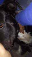 Hocico hinchado en perros, Labrador