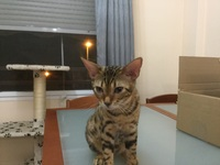 Secreción ocular en gatos, Bengala