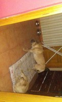 Dificultad para mover las patas traseras en perros, Shar Pei
