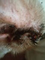 Secreción en los oídos en perros, Desconocida