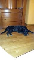 Gruñe en perros, Labrador
