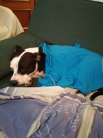 Respiración ruidosa en perros, Staffordshire Terrier americano