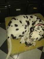 Dolor de cadera en perros, Dálmata
