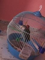Dolor de pata en aves, Agapornis roseicollis