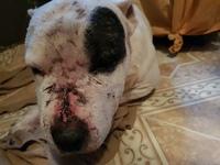 Tatu, mi perro cruce de bull terrier macho, tiene heridas, enrojecimiento de la piel y pus en la piel, infección