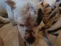 Pus en la piel, infección en perros, Bull Terrier
