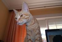 Heridas que no curan o cicatrizan en gatos, Común europeo