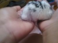 Dificultad para mover las patas traseras en roedores, Hámster ruso