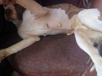 Diarrea amarilla en perros, Pit bull